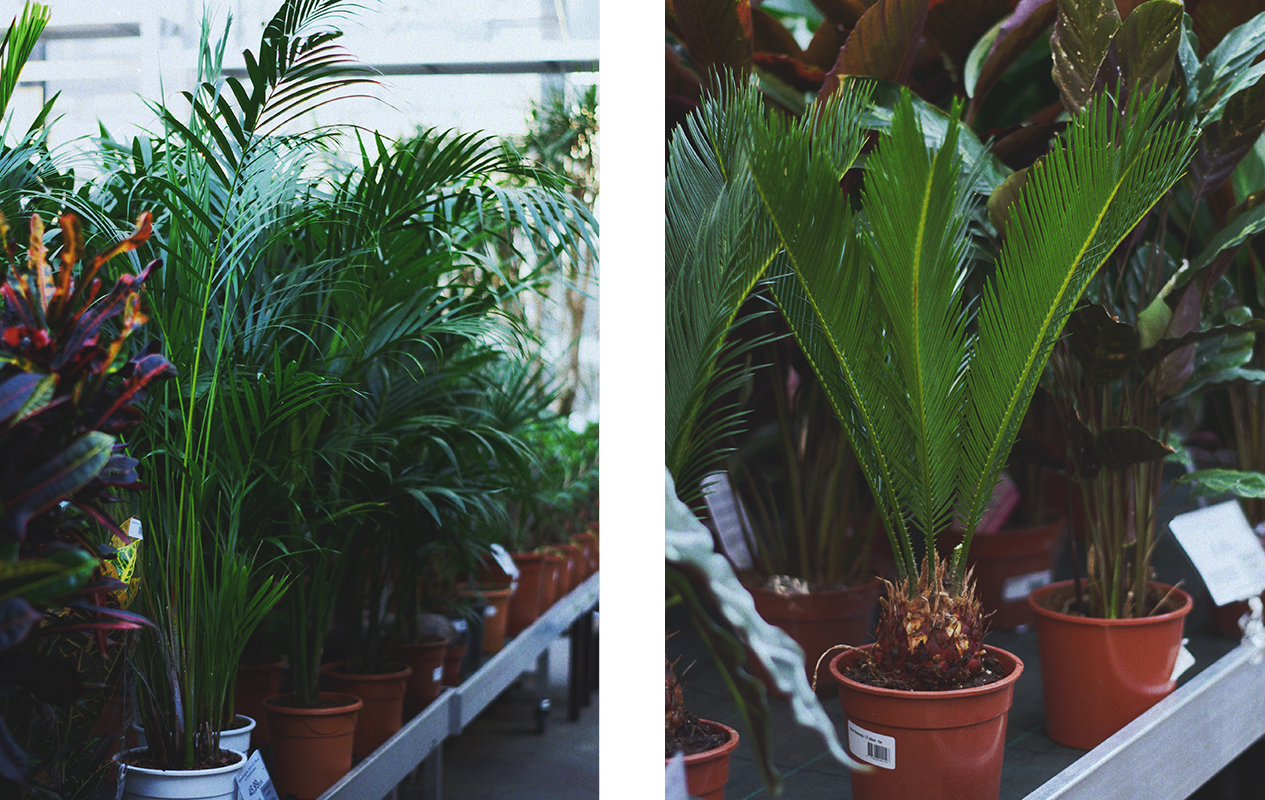 palme-augalas